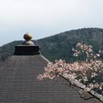 鞍馬寺 桜