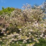 京都御苑 八重桜