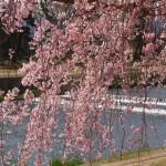 半木の道 4月17日