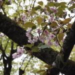 寂光院 汀の桜