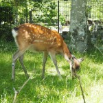宝ヶ池公園にいた鹿