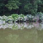 池に映る紫陽花