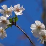 平野神社 寒桜