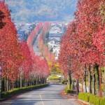 桂坂のモミジバフウ 11月