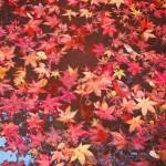 勝持寺の紅葉 11月16日