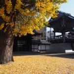 仏光寺のイチョウ