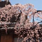 祇園白川 しだれ桜 4月1日