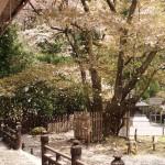 常照皇寺 左近の桜の桜吹雪 4月24日