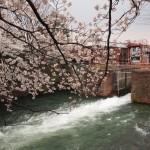 夷川ダムと桜